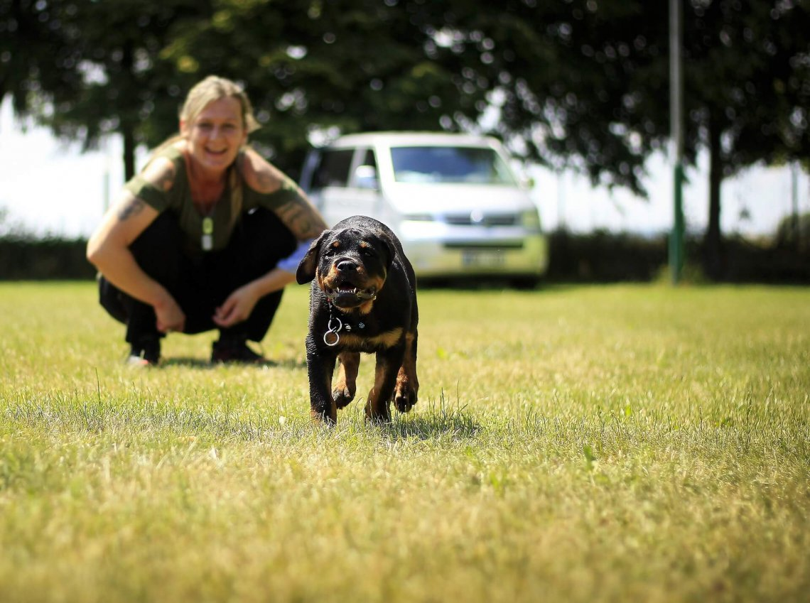 How to train Rottweiler dog
