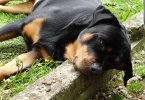 Common Rottweiler Health Problems
