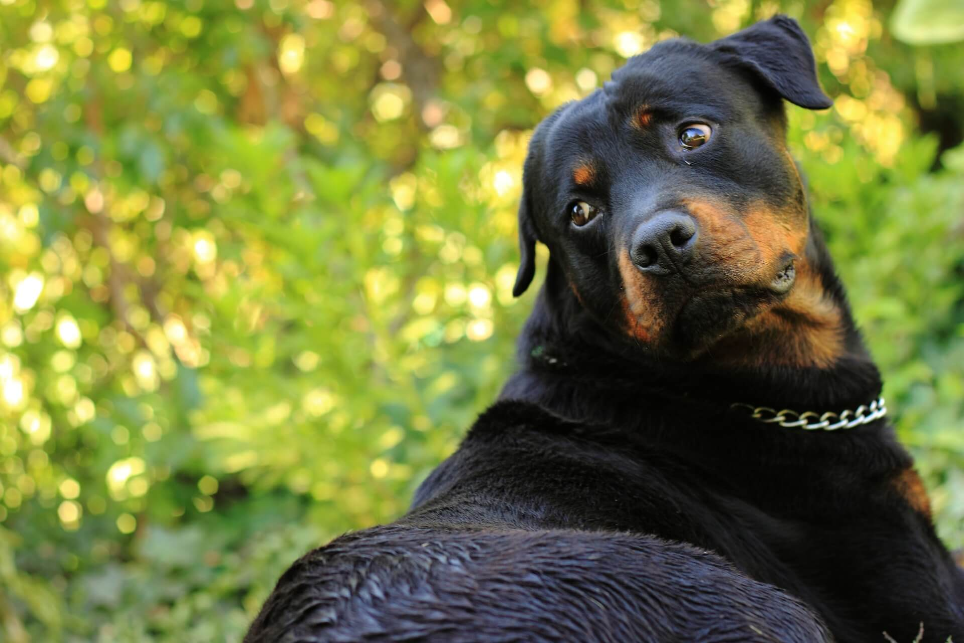 9 Fun Facts About Rottweiler You Didn't Know