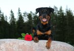 Here are best Rottweiler names for male and female Rottweiler dog
