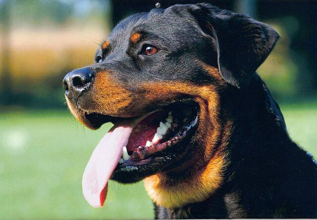 What Can  Be The On Pigmentation In Rottweilers