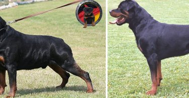 Natural vs a Docked Tail Rottweiler