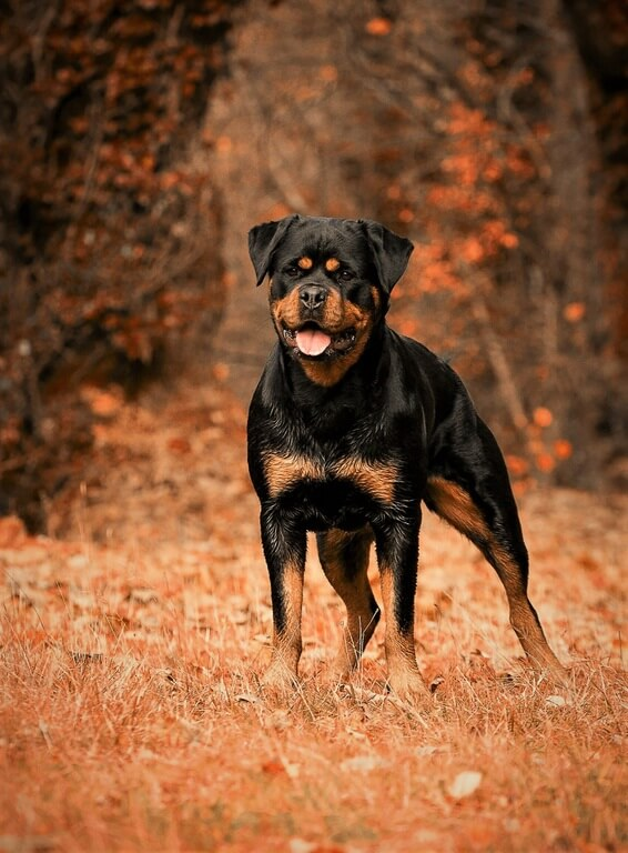 The Pros And Cons Of Keeping Rottweiler