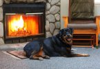 Your Guide To Rottweiler Grooming